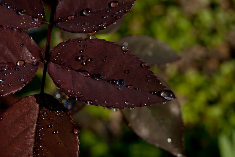 Beauty In Nature Botany Close-up Dew Dew Drops On Leaf Drop Focus On Foreground Freshness Growth Leaf Leaves Nature Plant Purity Tranquility Water Wet