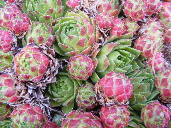 Beautiful cluster of mysterious pinkish green flowers. Sempervivum Full Frame Backgrounds No People Day Green Color Plant Growth Outdoors Close-up Beauty In Nature Nature Picturesniper907 Pinkishgreen Noedit NoEditNoFilter Nofilter Beautiful Nature Screensaver