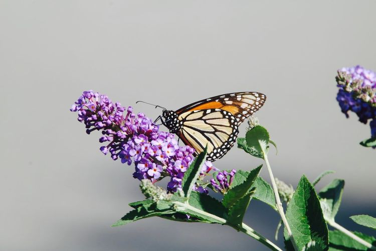 Animal Themes Animal Wildlife Animals In The Wild Beauty In Nature Butterfly Butterfly - Insect Close-up Day Flower Flower Head Focus On Foreground Fragility Freshness Growth Insect Monarch Nature No People One Animal Outdoors Petal Plant Purple White Background