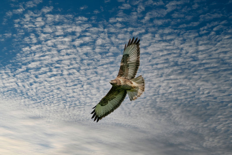 One common buzzard bird, bird of pray, buteo buteo, in flight against a blue sky and white clouds.