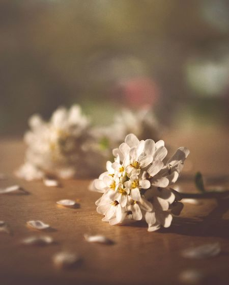 Flower Flowering Plant Plant Beauty In Nature Nature Vulnerability  Fragility White Color Inflorescence Flower Head Day Outdoors Freshness No People Selective Focus Growth Close-up Focus On Foreground Petal Sunlight