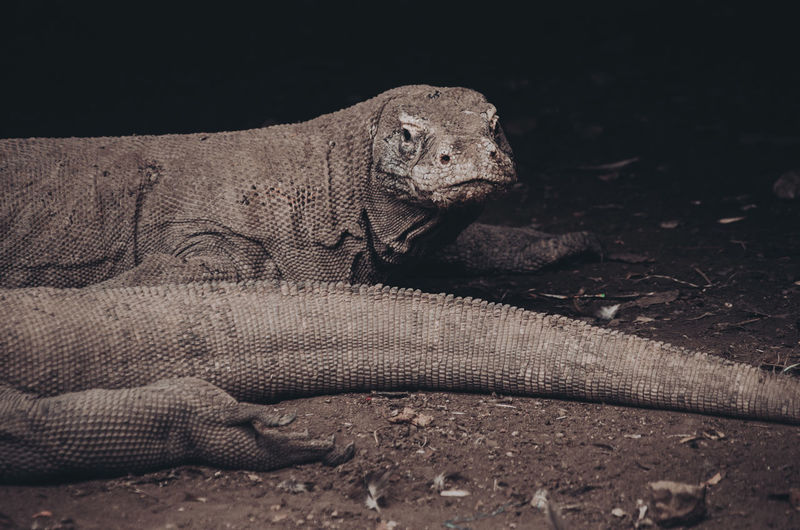 Portrait of komodo dragon, the biggest lizard in the world. monitor lizard, varanus.