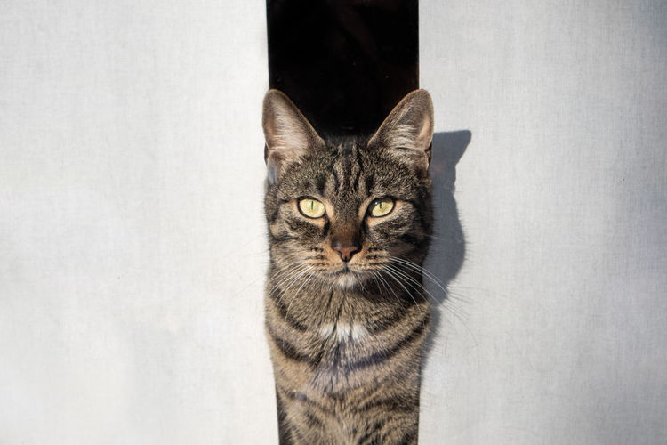 Portrait of tabby cat amidst curtain