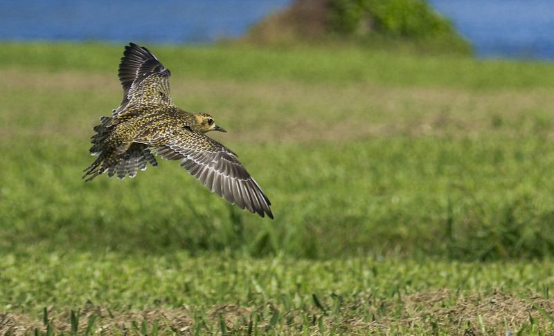 Pacific Golden Plover Bird Photography Birds Of EyeEm  Birds🐦⛅ Hawaii Hawaii Life Beauty In Nature Beauty In Nature Bird Bird Watching Birds In Flight Birds_collection Close-up Day Field Flying Focus On Foreground Grass Mid-air Motion Nature No People Outdoors Spread Wings
