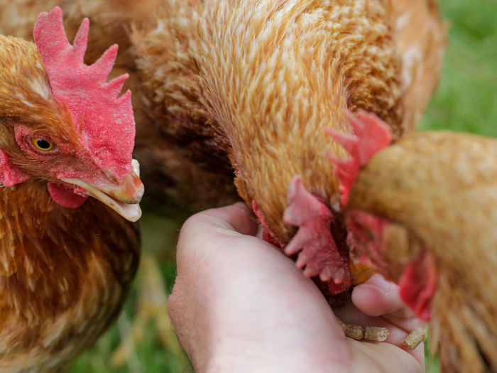 Friendly chooks Copy Space Animal Animal Head  Animal Themes Beak Bird Body Part Care Chicken Chicken - Bird Close-up Day Domestic Domestic Animals Feeding Chooks Feeding The Birds Group Of Animals Hand Hand Feeding Hens Holding Human Hand Pets Red Shaver Vertebrate