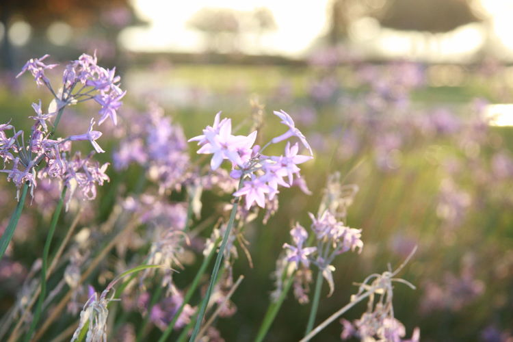 Flower Flowering Plant Plant Fragility Vulnerability  Freshness Beauty In Nature Purple Close-up Growth Day Nature Focus On Foreground No People Selective Focus Petal Flower Head Lavender Field Land Outdoors Sunrise Sunkissed