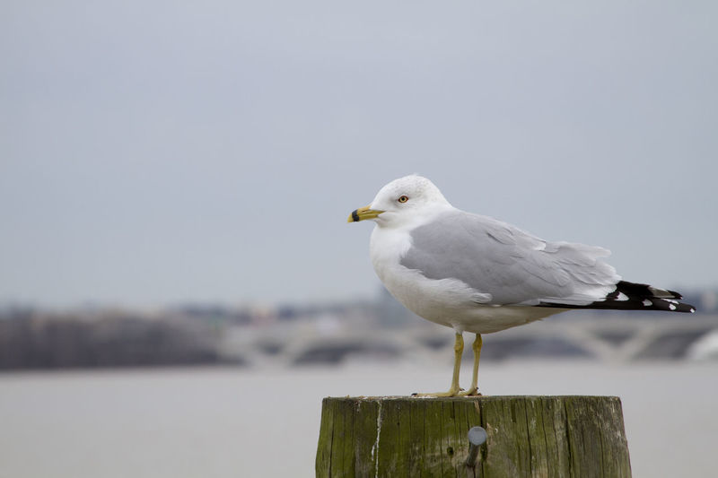 Animal Themes Animal Wildlife Animals Animals In The Wild Beauty In Nature Bird Close-up Day Full Length Horizontal Living Organism Nature Nature_collection No People One Animal Outdoors Perching Robertabreufp Sea Bird Seagull Sky Symbols Of Peace