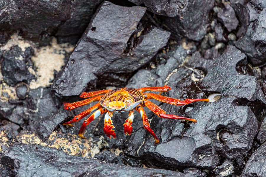 Red crab on rocks Crab Animal Themes Animal Wildlife Animals In The Wild Close-up Day Lava Nature No People One Animal Outdoors Red Crab Rock - Object Sea Life