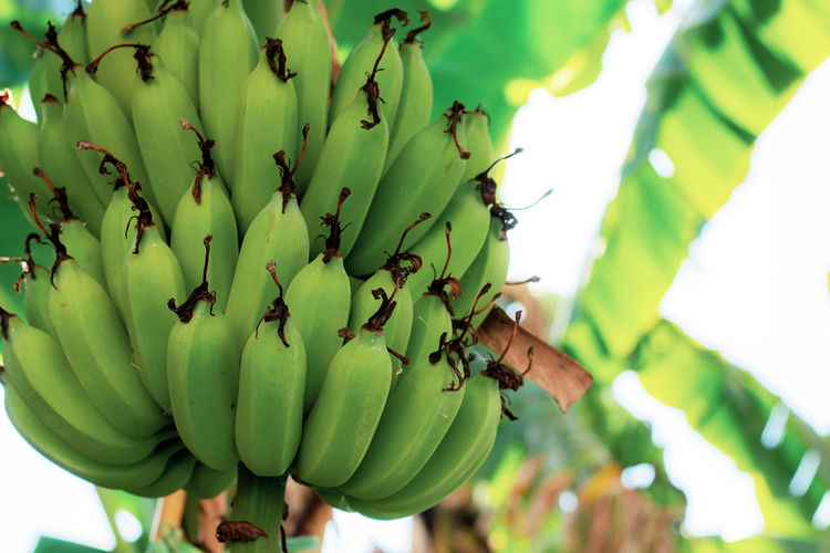 Low angle view of bananas on tree