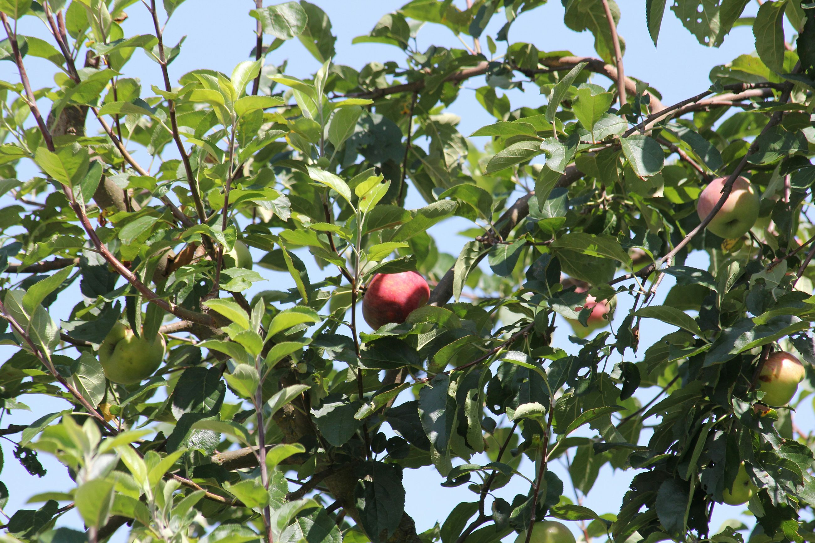 fruit, food and drink, tree, leaf, food, branch, growth, healthy eating, low angle view, green color, freshness, ripe, nature, hanging, day, close-up, red, outdoors, apple - fruit, no people