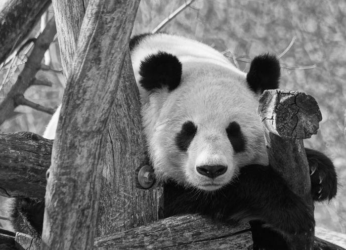 Panda on wood at zoo