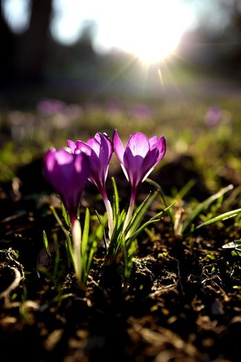 Flower Flowering Plant Plant Freshness Beauty In Nature Fragility Vulnerability  Day No People Nature Pink Color Sunlight