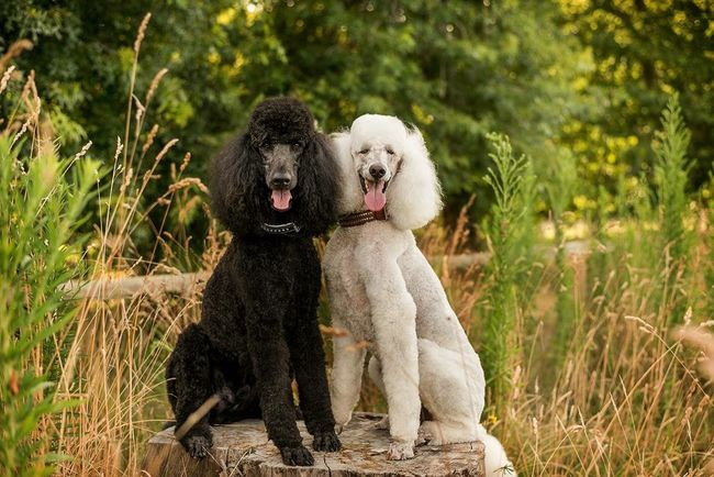 Fiona & Sullivan Smile Dog Summer New Zealand Happy Dogs New Zealand Scenery Poodle Standard Poodle Tree Stump Groomed Pampered Pets