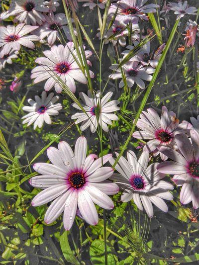 Flower Head Flower Osteospermum Eastern Purple Coneflower Petal Close-up Blooming Plant The Still Life Photographer - 2018 EyeEm Awards