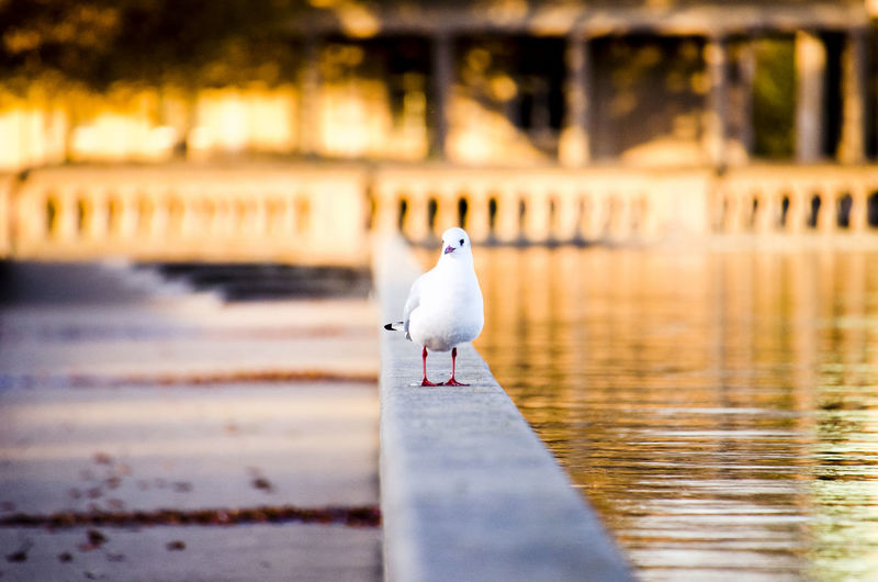 Autumn Autumn colors Warn Colours Atmospheric Mood Bird Nature No People Day Uk England Selective Focus One Animal Focus On Foreground Animal Wildlife Animal Seagull Close-up Blurred Background Bird Photography Park Autumn Leaves Fall Autumn Mood Sunset Animal Themes EyeEmNewHere