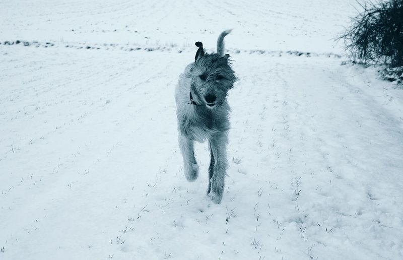 Monochrome Winter Snow Dog Cold Temperature Animal Themes Running Outdoors Nature Winter Dogwalk Dogs Of Winter Dogslife Dog Of The Day Dogs Of EyeEm Weather Irish Wolfhound White Color It Is Cold Outside Cearnaigh January 2017 Winter 2017 How Is The Weather Today? The Places I've Been Today Flying