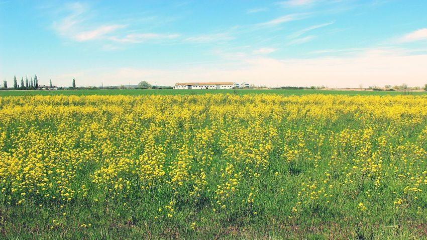 sunny day EyeEmNewHere Fieldscape Field Of Flowers Yelow Flowers Sunlight Blue Sky Field Of Yellow Flower Horizon Over Land Farm Farm Land Wildflowers Wildflowers Of Eyeem Wildflowerseries Nature Travellife Green Green And Yellow  Sunnyday☀️ Sky And Clouds Landscape Landscape_photography Horizon Horizon View