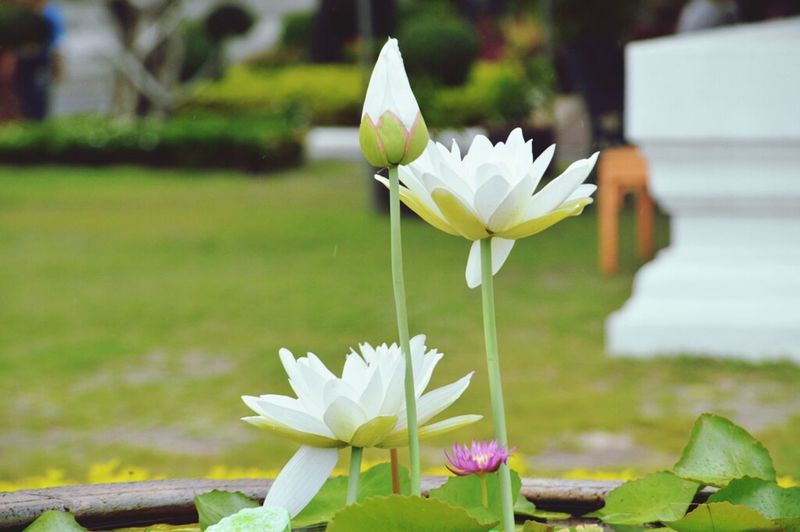 Lotus Flowers Instaworlwide Beautiful Flowers White