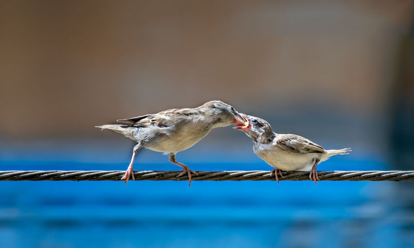 Newly born, hungry baby sparrow barely balancing on wire being fed with food from mother.