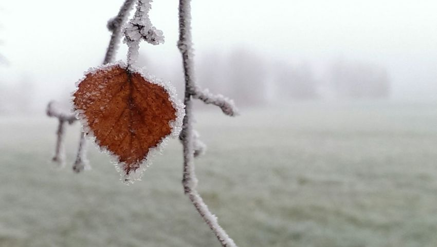 The Purist (no Edit, No Filter) Leafporn Heavy Frost Enjoying Nature FrozenFeeling Foggy Day Close Up White Last Leaves To Fall From This Tree🍂🍂 Last Leaf On The Tree Silverbirch