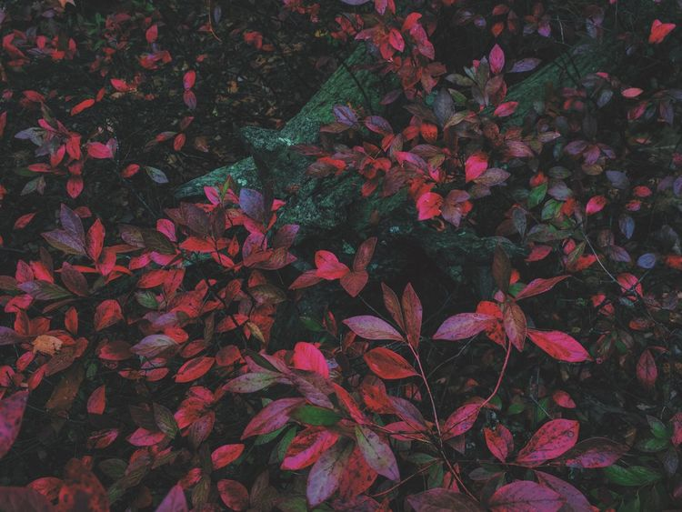 Leaf Beauty In Nature Nature Plant Red Freshness Outdoors Background