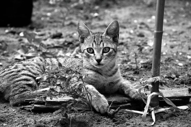 EyeEm Gallery EyeEmNewHere Animal Animal Themes Black And White Cat Day Domestic Domestic Animals Domestic Cat Feline Field Focus On Foreground Gray Kitten. Land Looking At Camera Mammal Nature No People One Animal Pets Portrait Relaxation Vertebrate Whisker