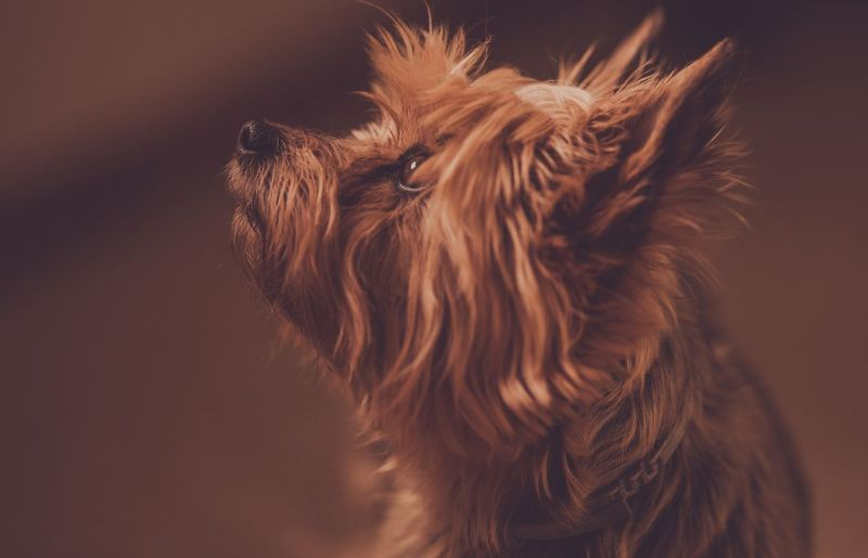 Australian Silky Terrier Portrait. Adult Dog Listening His Owner Awaiting Command. Australian Silky Terrier Animal Animal Body Part Animal Hair Animal Head  Animal Themes Brown Canine Close-up Dog Domestic Domestic Animals Focus On Foreground Hair Indoors  Mammal No People One Animal Pets Small Studio Shot Vertebrate
