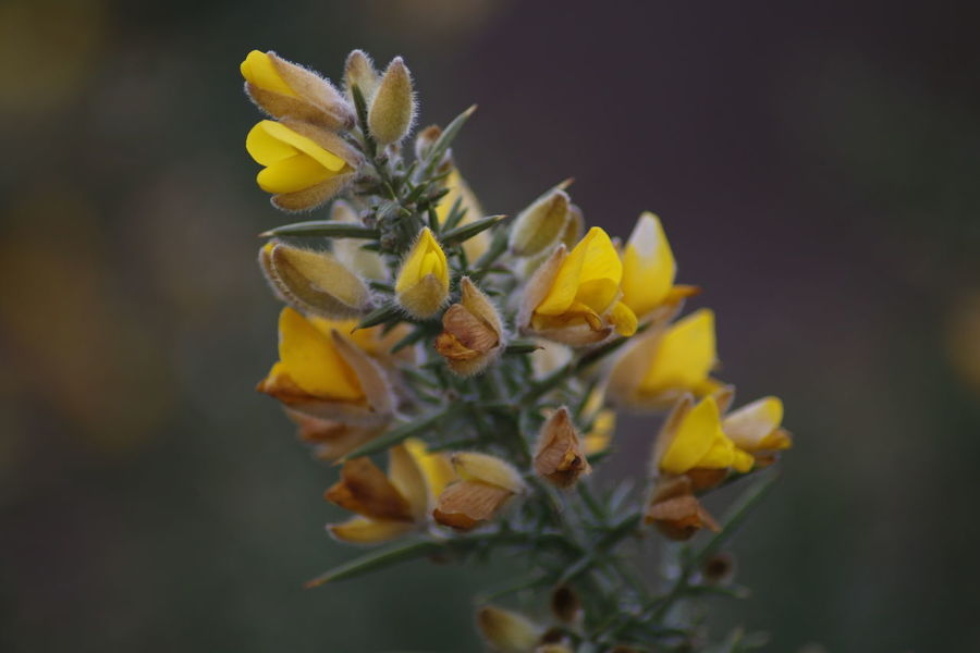 Beauty In Nature Close-up Flower Collection Flowerporn Focus On Foreground Gorse Gorse Bush Gorse Flowers Macro Macro Beauty Macro Photography Macro_collection Natural Beauty Natural Pattern Nature Nature Nature On Your Doorstep Nature Photography Nature_collection Naturephotography Plant Plant Winter Wintertime Yellow Flower