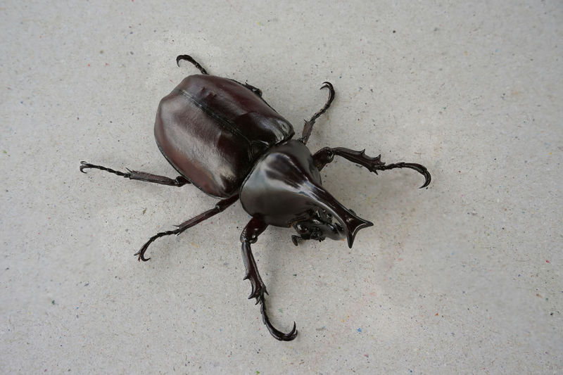 Beetle Dynastinae Siamese Rhinoceros Beetle Xylotrupes Xylotrupes Gideon Linnaeus Animal Themes Nature One Animal
