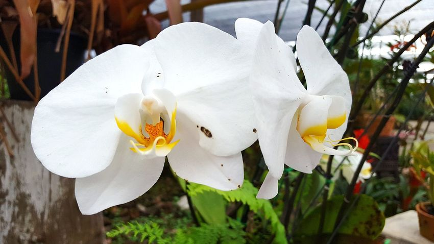 Flower Petal Nature Flower Head Beauty In Nature White Color Freshness Close-up No People Plant Outdoors Springtime Outdoor Photography Orchid Love Blossom Orchids In Bloom Orchids Orchid Blossoms Orchid Flower Orchidslover Orchids Garden Hanging Orchidflower Orchid Beauty In Nature