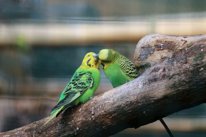 EyeEm Selects Peck Küsschen!  Budgies Budgielover Beauty In Nature Close-up EyeEm Nature Lover No People Animal Themes Outdoors Day Love Is In The Air Moment