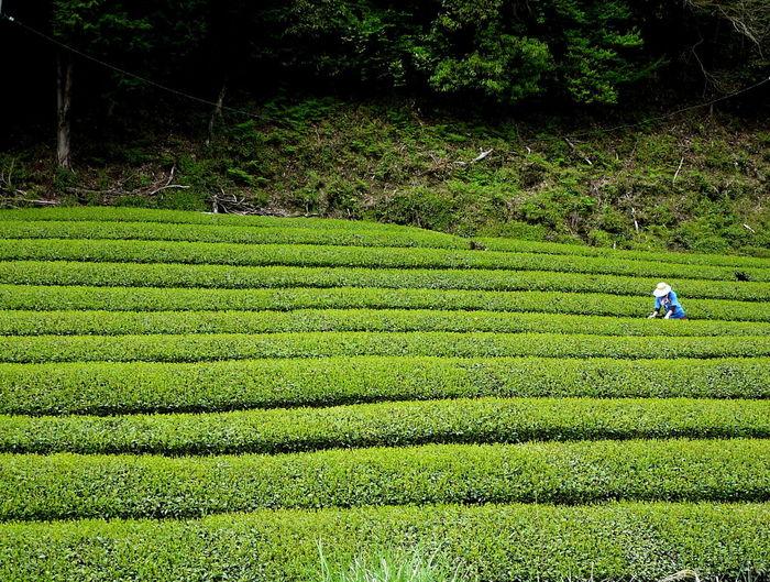 Farmer working at tea plantation