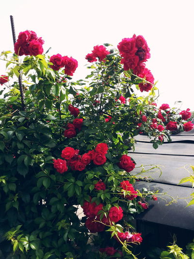 🌹 Flowers Nature EyeEm Gallery Spring Roses_collection Roses Red Roses Green Color Red Color Village Life Enjoying Life Smelling The Roses Smellsgood Sky Lovely Nature_collection Spring Flowers Vscocam