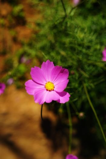 No People No Person Day Flower Head Flower Pink Color Peony  Summer Petal Photography Themes Cosmos Flower Close-up Plant Eastern Purple Coneflower Flowering Plant Pollen Blooming Magenta Blossom In Bloom
