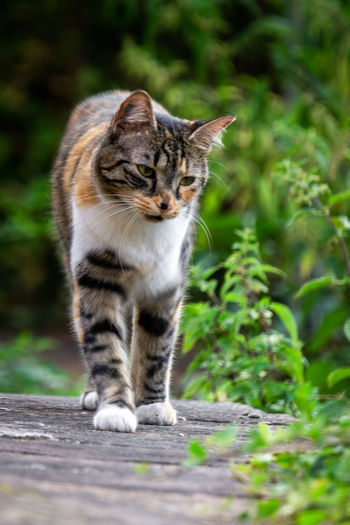 Walking Close-up Cat