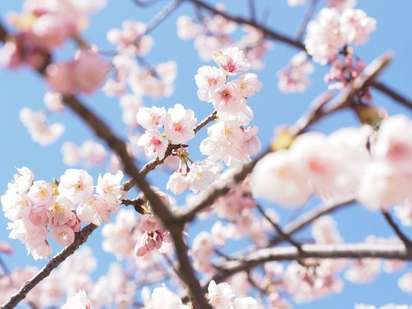 河津桜 Springtime Beauty In Nature Flower Tree Cherry Blossom Pink Color Spring EyeEm Nature Lover EyeEm Best Shots Spring Flowers