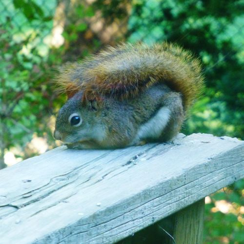 Hiding under my tail never looked better One Animal Animal Themes Animals In The Wild Animal Wildlife Squirrel Mammal Nature Outdoors Day No People Nature Photography Beauty In Nature Nature Close-up Red Squirrel Wildlife & Nature Wildlife Wildlife Photography Backyard Friends Backyard Critters Squirrels