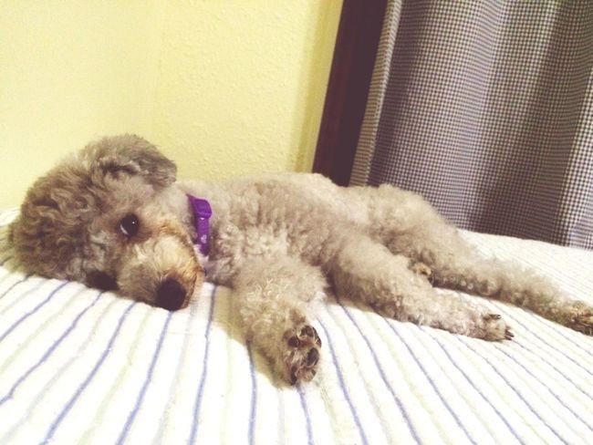 Toypoodle My Toypoodle Ilovemydog Cute Pets Noël Funny Sleepydog Pets Corner Sweet♡ Love
