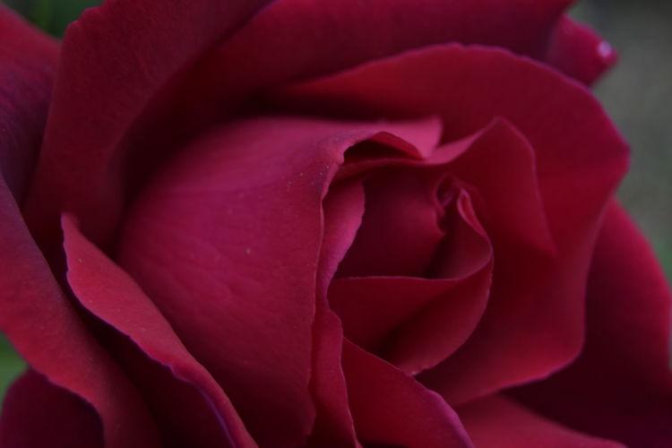 Rosa Primer