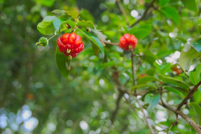 barbados cherry. Barbados Cherry Barbados Foodphotography Furits Red Barbados Church Wild Chery Thai Thailand Green Tree