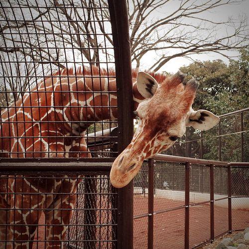 モノホンのキリンさん(*´▽`*) Giraffe Zoo Animal Love EyeEm Animal Lover Animals Snapshot Enjoying Life 十うん年振りに動物園行ってみた(笑)