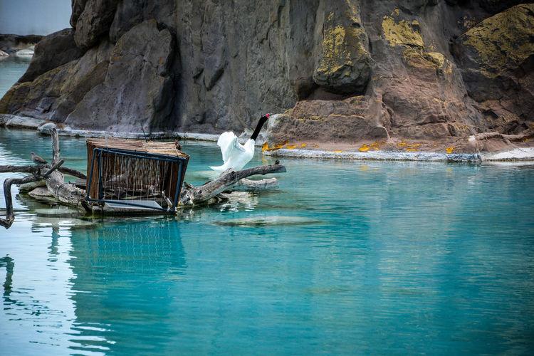 Black-necked swan by lake against rock in zoo