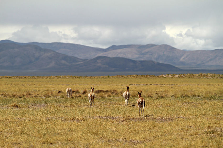 Animal Themes Animals In The Wild Argentina Beauty In Nature Day Field Grass Lama Landscape Large Group Of Animals Mammal Mountain Mountain Range Nature No People Outdoors Scenics Sky