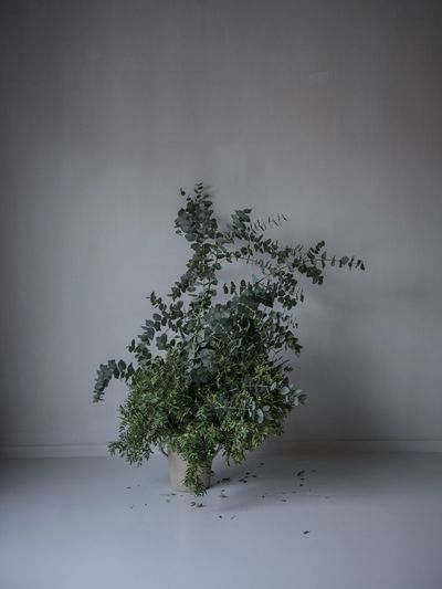Plant Indoors  No People Close-up Tree Growth Nature Eukalyptus Lime Paint Nature In The Home Living With Plants Indoors