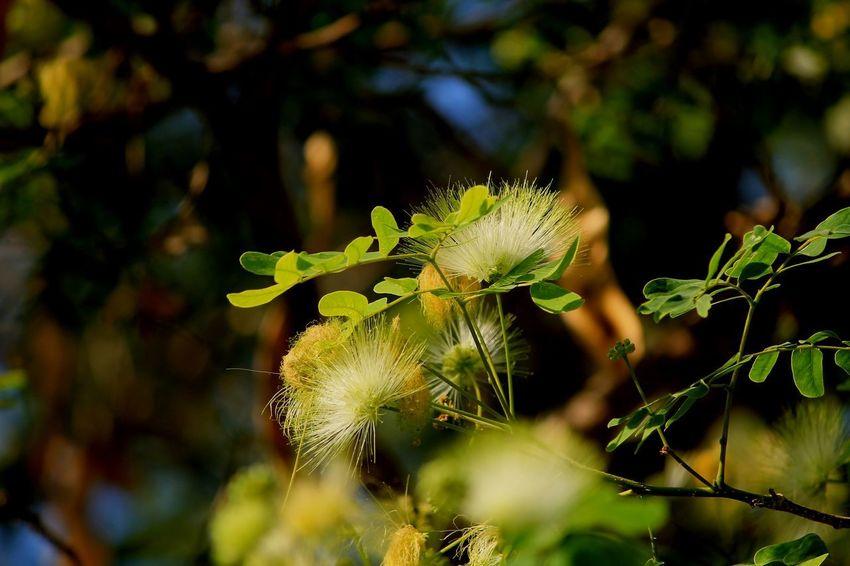 Albizzia Lebbeck, Bokeh Flea Frywood Koko Shirisha Springtime White Flowers Women's Tounge Tree
