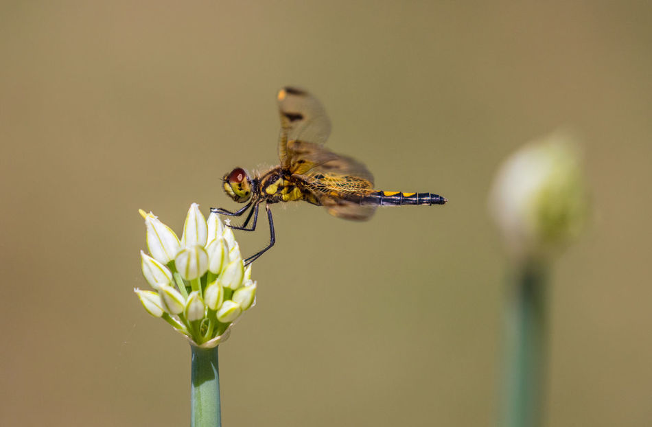 Dragon Fly Animal Animal Themes Animal Wildlife Animal Wing Animals In The Wild Beauty In Nature Close-up Dragon Fly Flower Flower Head Flowering Plant Focus On Foreground Fragility Freshness Insect Invertebrate Nature No People One Animal Outdoors Petal Plant Plant Stem Pollination Vulnerability