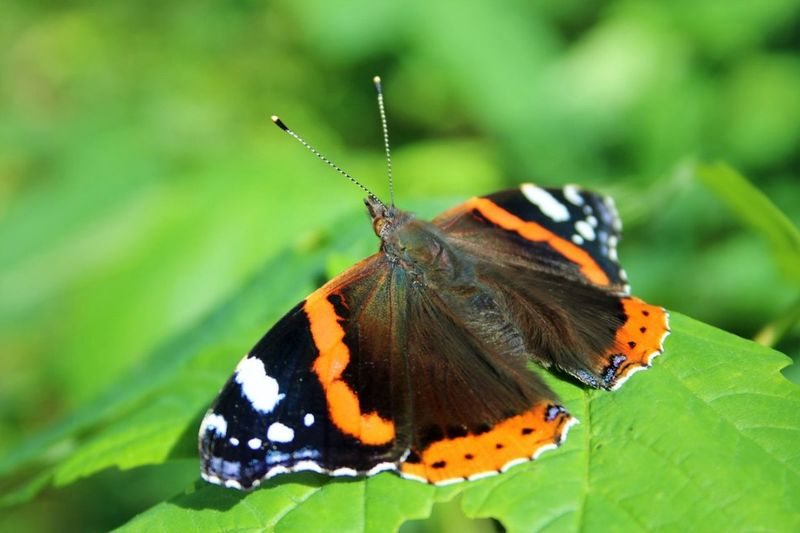 Butterfly Wings Insect Nature No People Close-up Macro Photography Macro_collection Macro