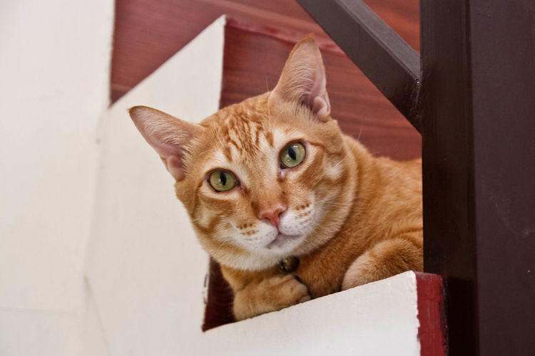 What are you looking at? Animal Themes Domestic Animals Domestic Cat Feline Looking At Camera Male Cat Mammal No People One Animal Orange Cat Pets