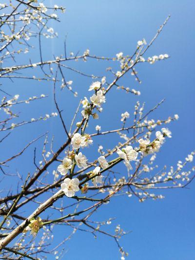 Plum blossoms Tree White Color Blossom Nature