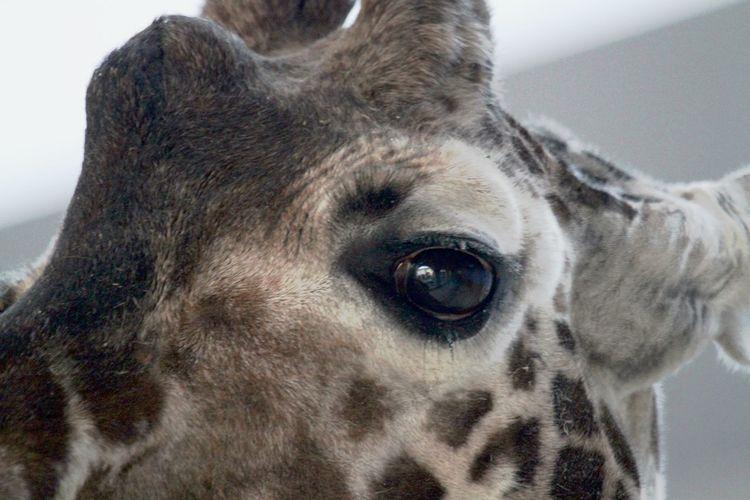 Giraffe Close-up Day Eye Focus On Foreground Looking At Camera Mammal No People One Animal Safari Animal Watching At You